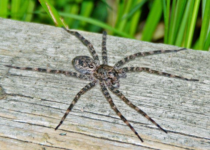 Dark Fishing Spider Field Station