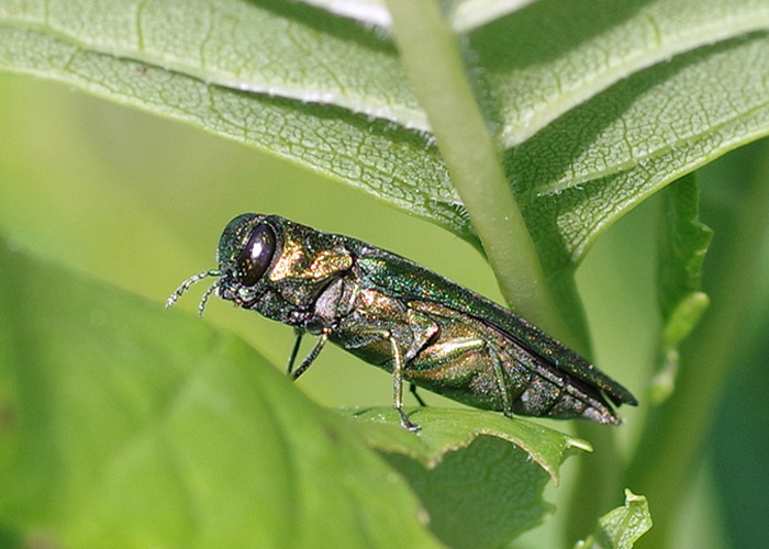 Emerald Ash Borer glittering in the sunlight