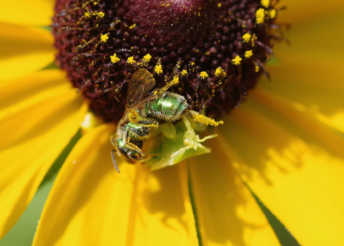 Ambush bug on a flower holding a small bee