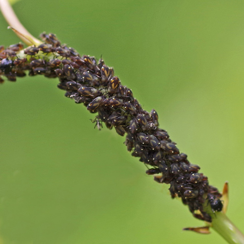 Dozens of aphids clustered together on a stem