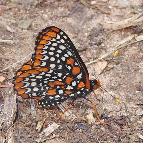 Black butterfly covered in orange and white spots