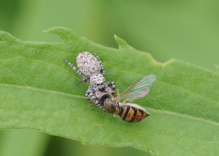 Jumping spider carrying syrphid fly