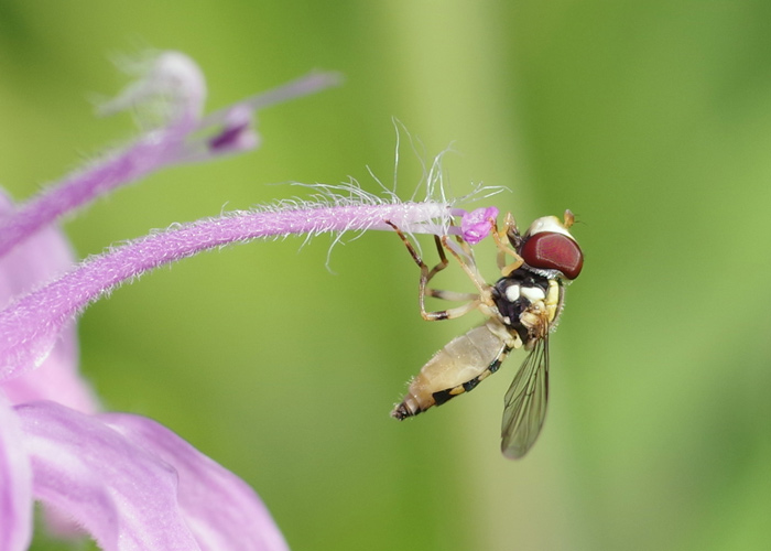 Syrphid on flower stamen