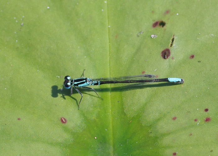 Male Lilypad Forktail