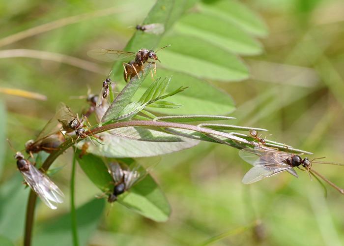 Royal Ant
