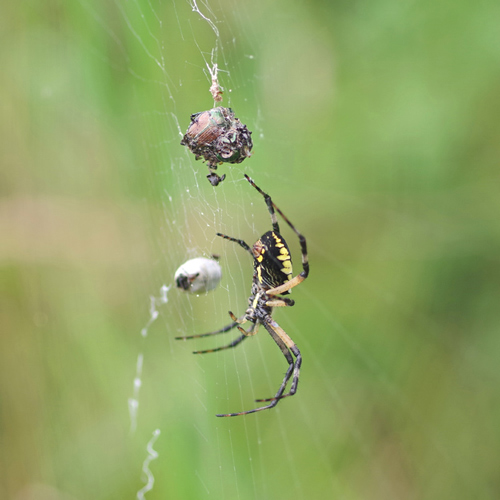 Black Orbweaver and Yellow and Black Argiope