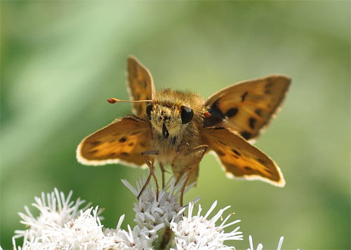 Fiery Skipper front view
