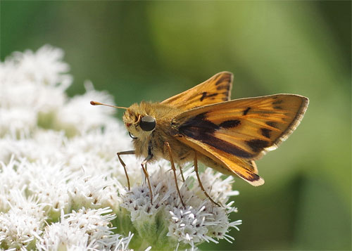 Fiery Skipper on white plant