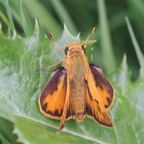 Fiery Skipper overhead view