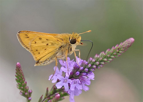 Fiery Skipper side view on purple plant