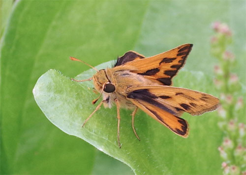 Fiery Skipper three-quarter view