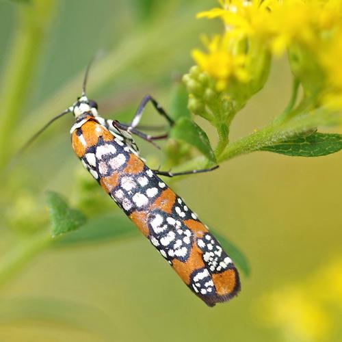Ailanthis Webworm Moth