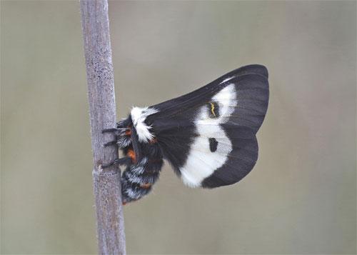 buck moth photo