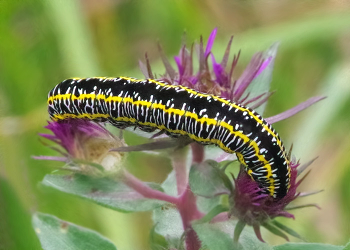 Zebra Moth Caterpillar
