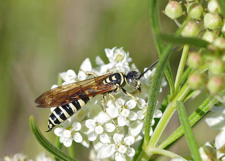 tiphiid male wasp on flower, highlighting narrow body, stripes, and antennae