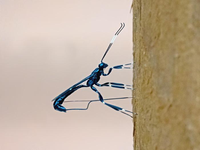 Xorides Stigmapterus