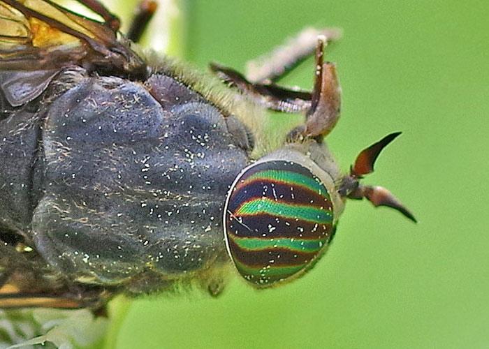 Horsefly Eye