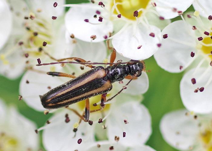 Pidonia Ruficolis