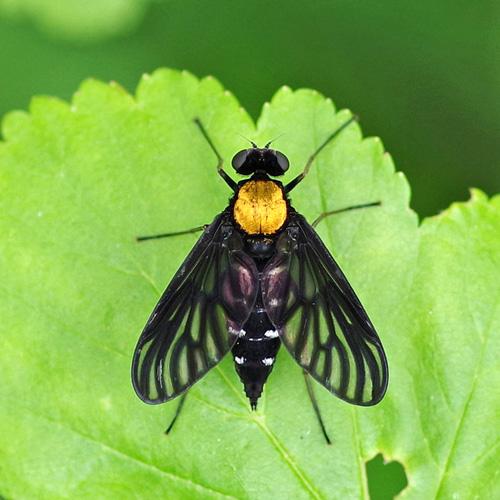 Golden-blacked Snipe Fly