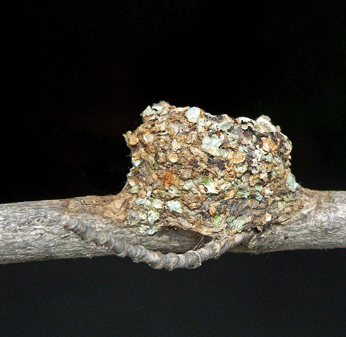hummingbird's nest with lichen