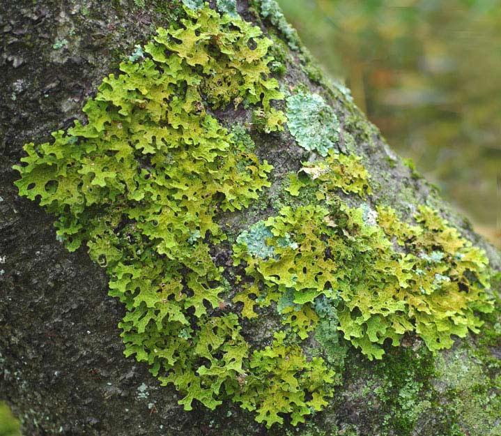 green lichen on bark