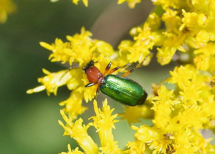 Beetle Calleida