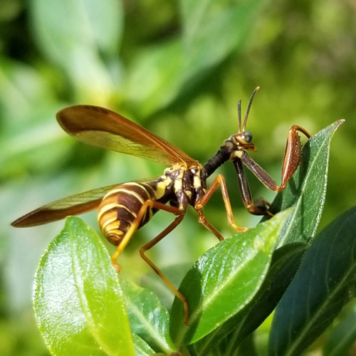 Wasp Mantisfly Image from BugFan Tom and Andrea