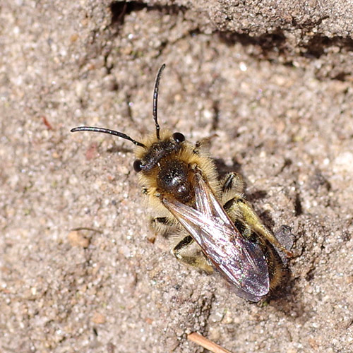 Red-tailed Mining bee