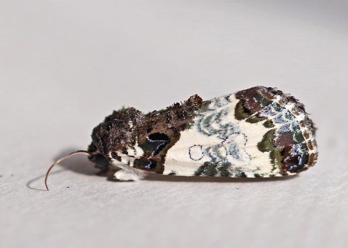 Tufted Bird-lime Moth