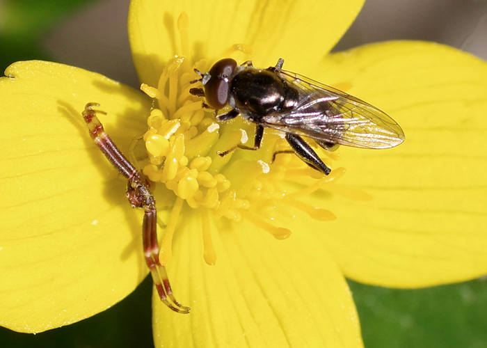 Male Crab Spider with fly