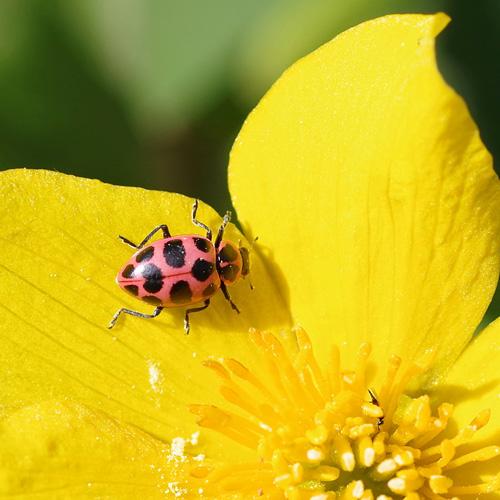 Spotted Ladybug