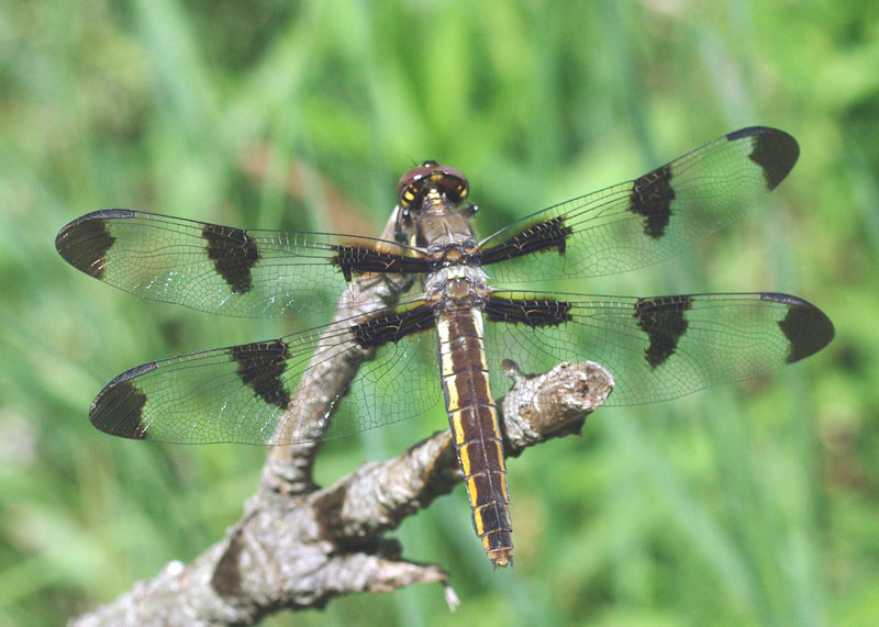 Spotted Skimmer Dragonfly