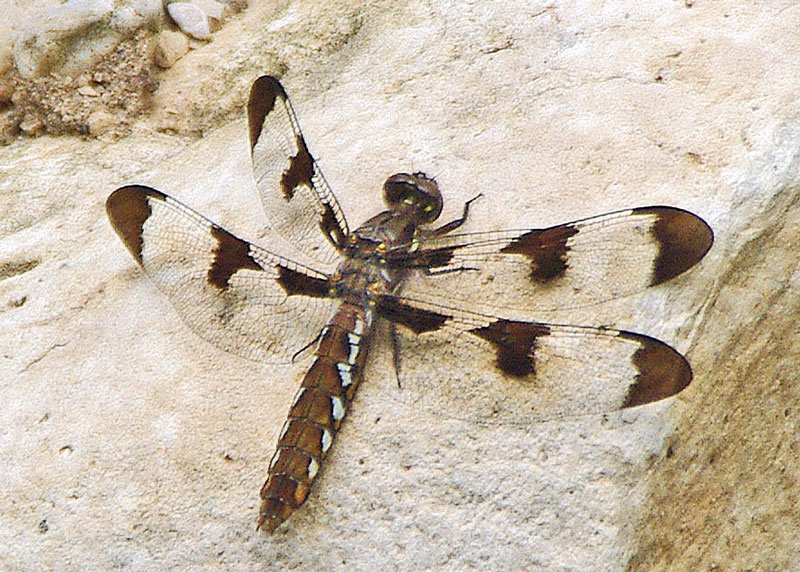 Whitetail female Dragonfly