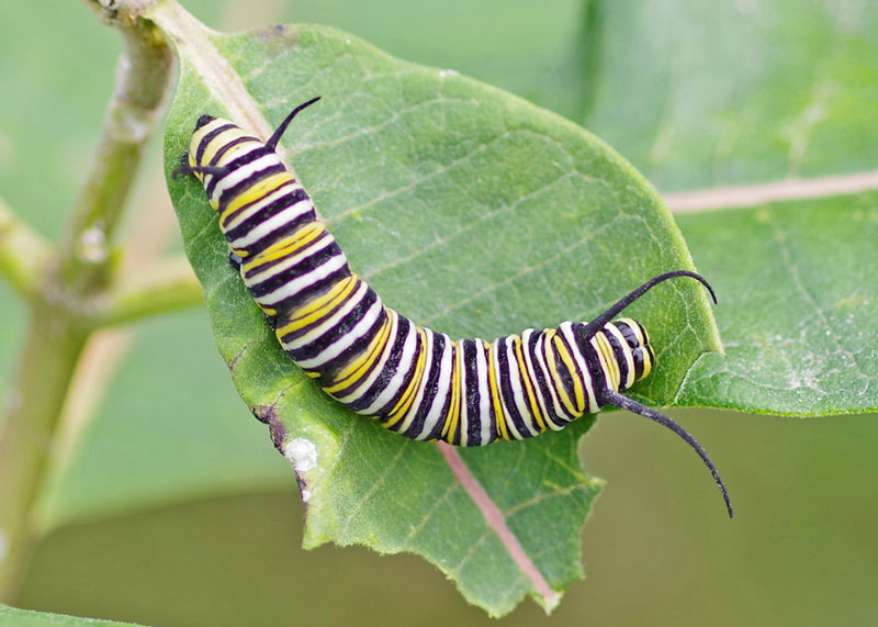 caterpillar that will be monarch butterfly