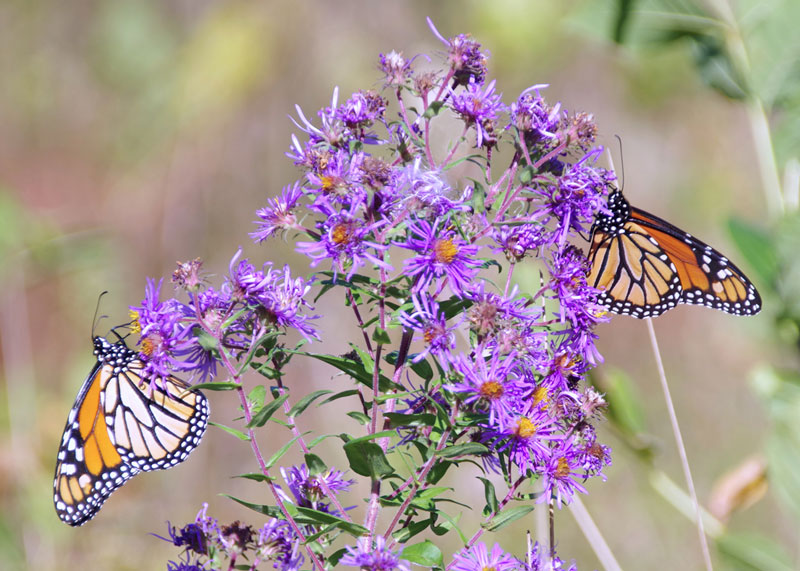 monarch butterflies on bush
