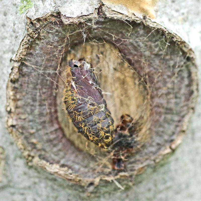 Gypsy moth pupal case