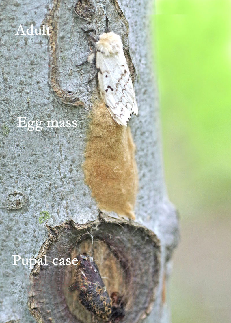 Gypsy moth egg mass and pupal case