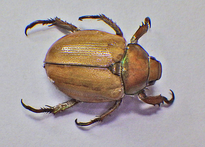 Goldsmith Beetle view of top