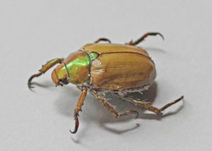 Goldsmith Beetle view from side