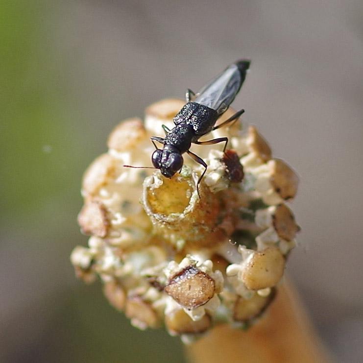 stenus rove beetle
