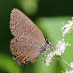 striped hairstreak butterfly