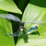 whiteface dragonfly and marsh bluet