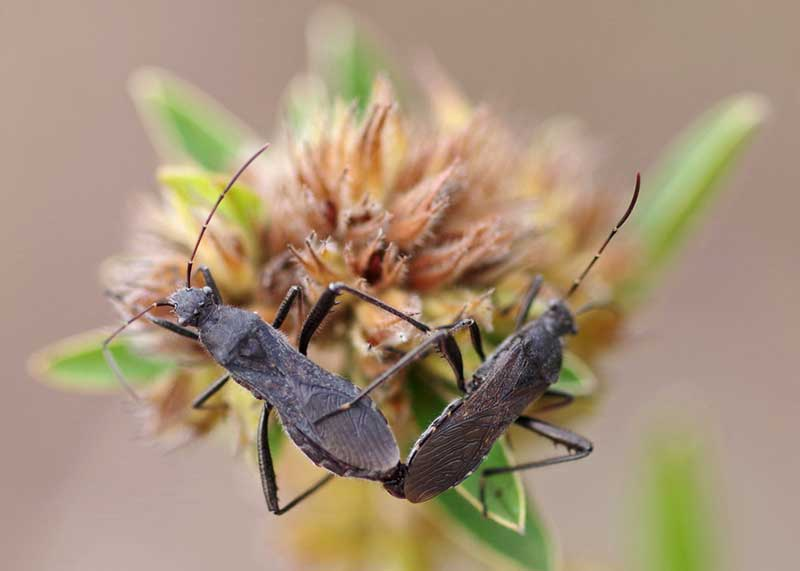 Broad-headed Lupine bug