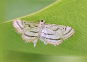 chestnut-marked pondweed moth