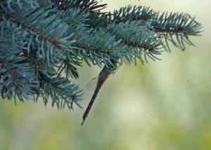 Green Darner on evergreen