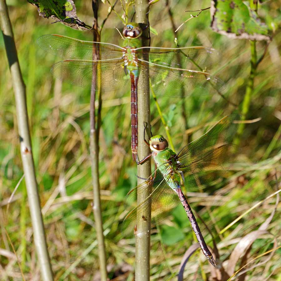 Two Green Darners on limb