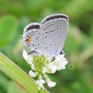 Eastern tail blue butterfly