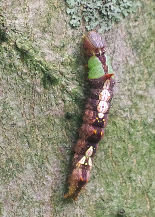 morning glory catepillar