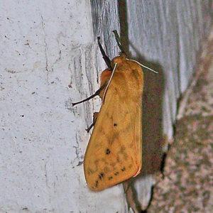 Isabella Moth