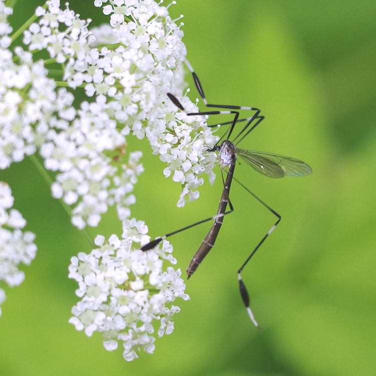 phantom crane fly on flowers